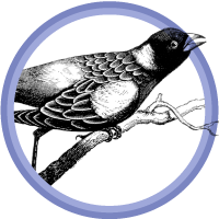 bird on branch, Little Black Bird feature image