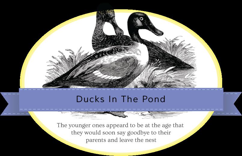 ducks-banner