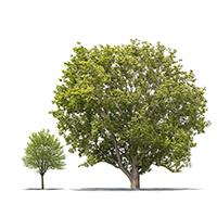 mighty-oak-little-maple